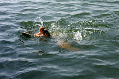 Dalyan river and turtle in a Turkey, turkish asia photo