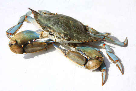 Blue crab on a white background, Turkey, Dalyan river photo