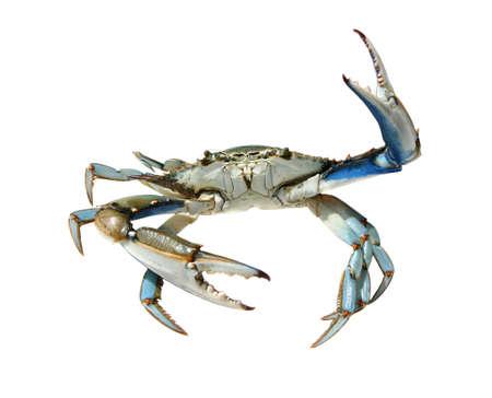 Blue crab on a white background, Turkey, Dalyan river