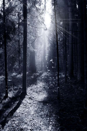 Fog and sunny rays in a morning forest photo