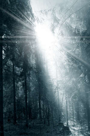 black and white forest: Fog and sunny rays in a morning forest Stock Photo