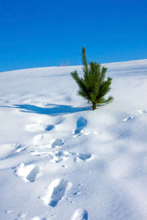 horison: Pine and snow background for christmas card