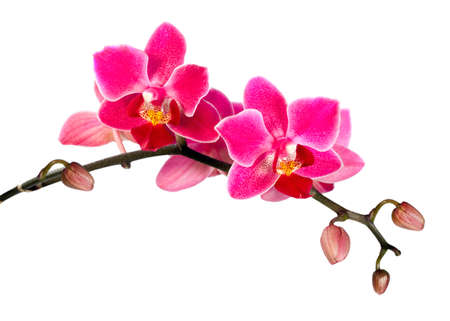Blossoming flower exotic mini orchid on white background photo