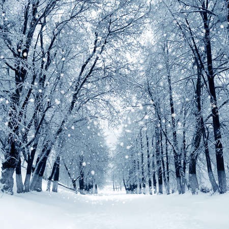 Snowstorm in winter park, scenery with trees in sunny cold day. Stock Photo - 22974771