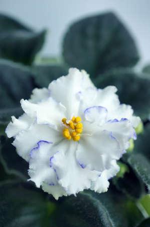 Beautiful flower Saintpaulia (African violet ) close up Standard-Bild