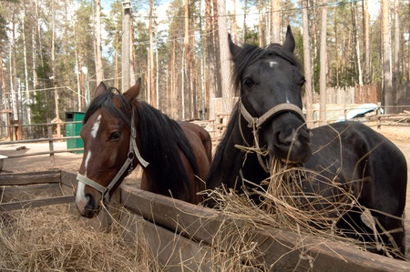 two horses, black and brown, eating hay grass photo
