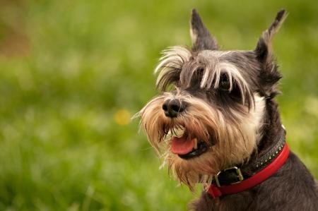 miniature schnauzer dog portrait Stockfoto