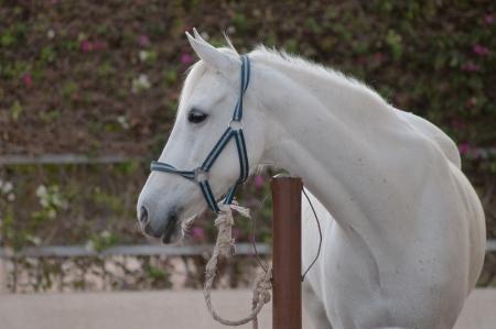 hitching post: white arab horse