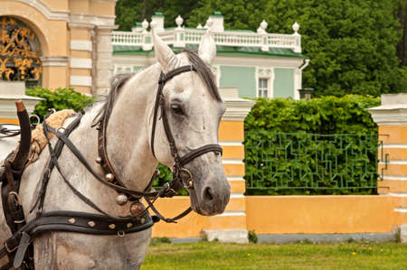 kuskovo: beautiful white horse portrait on the background of Kuskovo, Russia