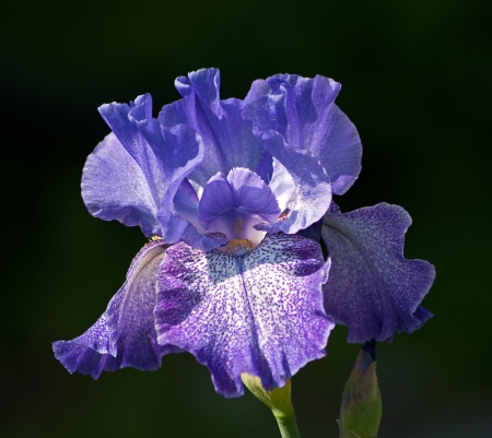 iris flower: iris flower on the dark background