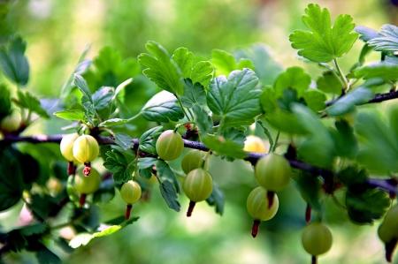 grosella: grosellas verdes en el arbusto de grosella