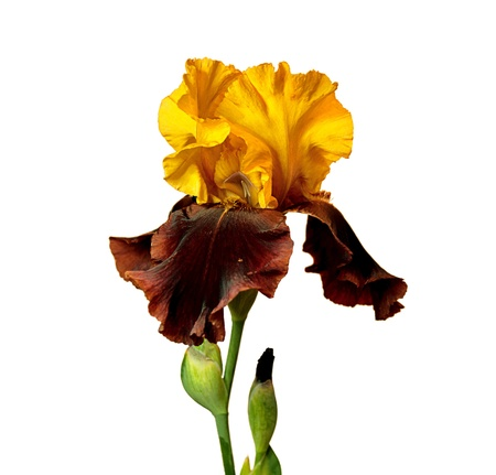 brown and yellow iris isolated on white background photo