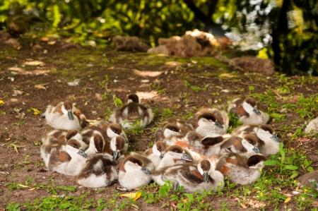 flappers: patito tendido en el suelo cerca de la laguna