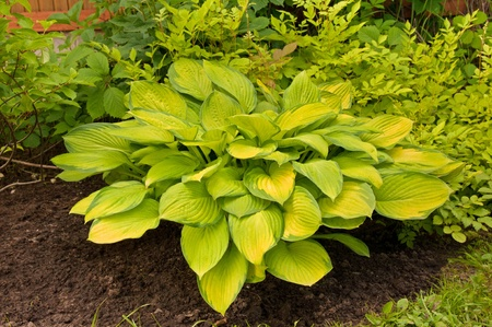 hosta with yellow leaves in the garden photo