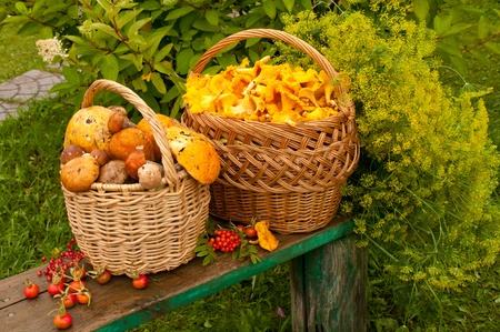 two baskets with mushrooms orange-cap boletus and chanterelles on the bench photo