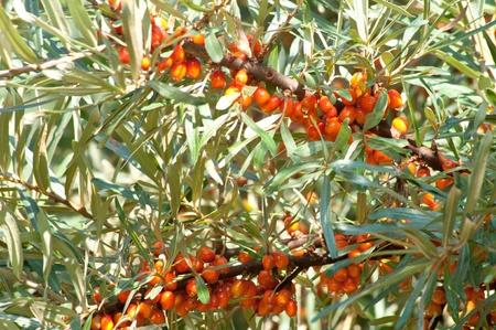 seabuckthorn: sea-buckthorn brunches with berries