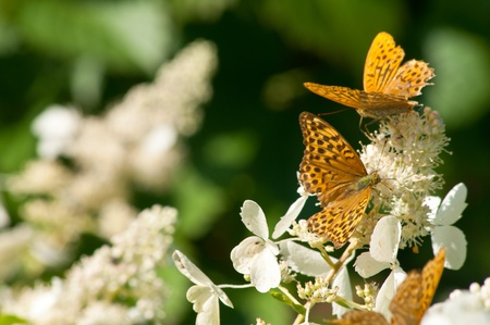 orange butterflies sitting on the white hydrangea photo