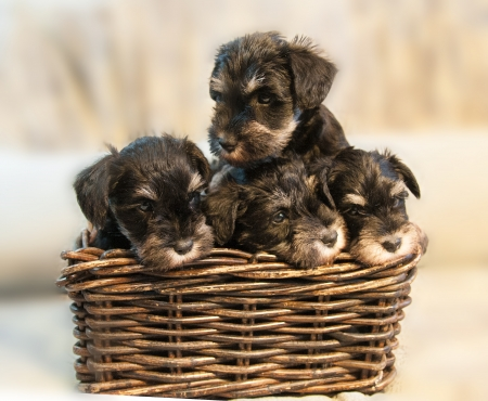 four miniature schnauzer puppies sitting in the box photo