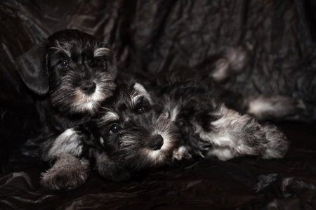 two schnauzer puppies on black background photo