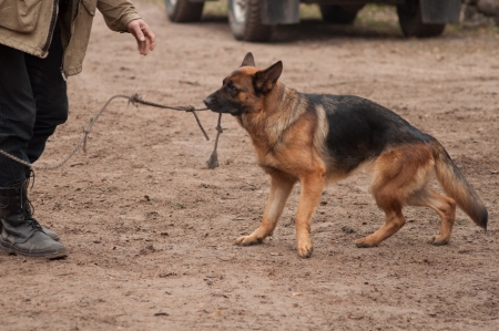 shepard dog playing with rope photo