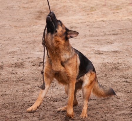 shepperd: shepperd dog holding the rope in his teeth and hanging on it