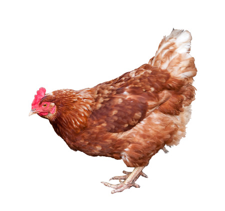brown hen isolated on white background