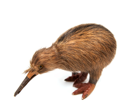 flightless bird: kiwi bird toy isolated on the white background