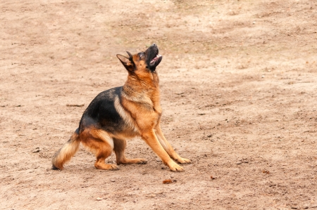 shepperd: shepherd dog standing on the ground preparing to jump or bark