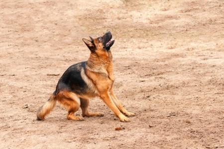 shepperd: shepherd dog standing on the ground preparing to jump or bark