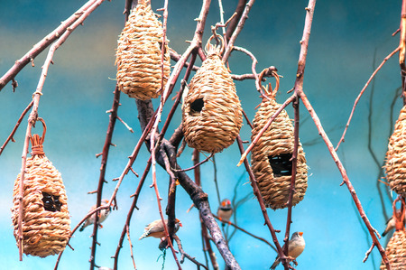 weaver bird nest: hanging on the branches nests of the small african birds