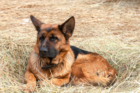 german shepard dog laying on the hay photo