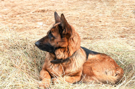shepard: german shepard dog laying on the hay