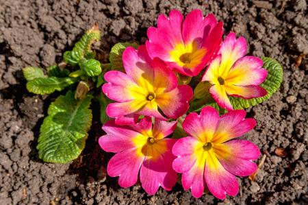 primula: primula flowers close up