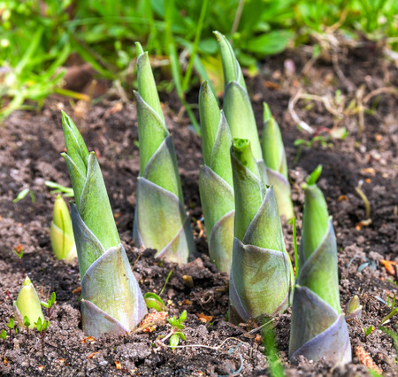 hosta sprouts in spring close up