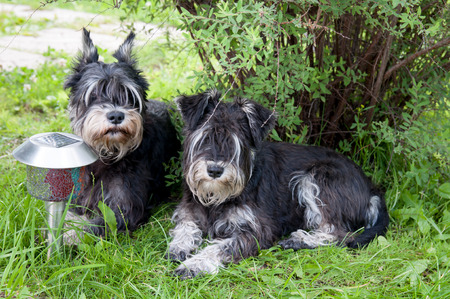 two miniature schnauzer dogs laying close to each other photo