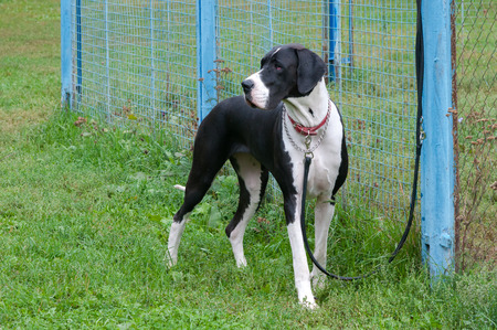 cane collars: big dog standing near the fence