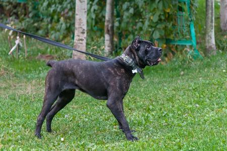 cane collar: Cane corso Italian dog standing on the grass