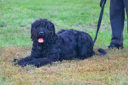 Black Russian Terrier photo