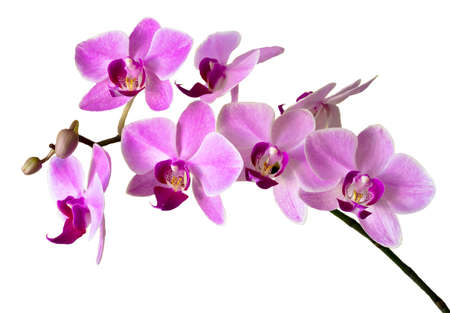 Pink streaked orchid flower, isolated photo