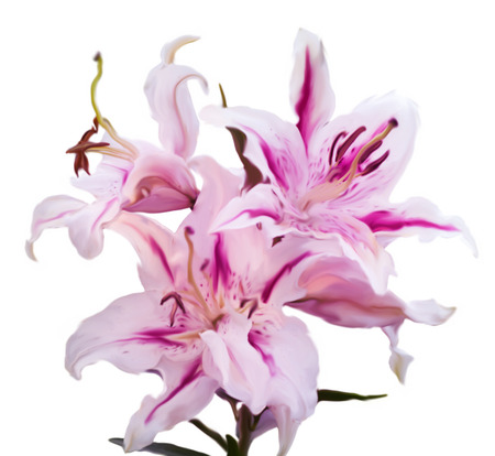 tiger lily: illustration of the tiger woods lilium isolated on white background