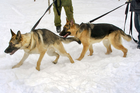 shephard: two german shephard dogs walking near the masters legs on a dog training course in a winter day on a snow