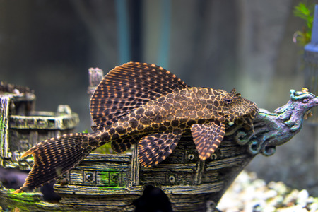 ancistrus dolichopterus laying on the ship decoration in aquarium