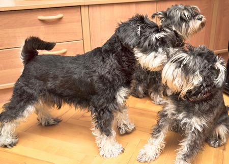 perros jugando: tres perros schnauzer miniatura negro y plata juegan bajo techo