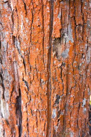 bark background texture: Apple tree painted in red bark background texture pattern Stock Photo