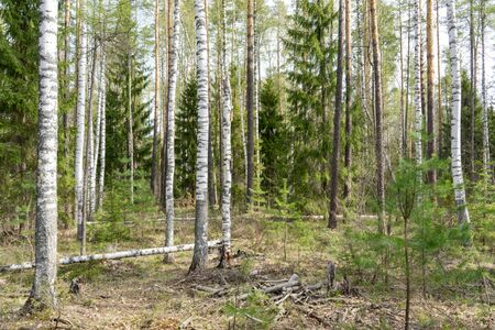 siberian pine: spring siberian forest landscape: a birch and pine trees