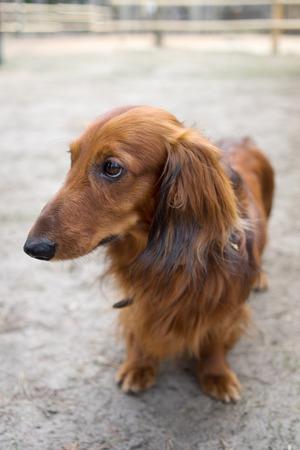 head down: Beautiful brown dog breed dachshund standing on a sidewalk with its head down