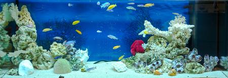 biotype: Large rectangular aquarium with tropical cichlids fish Stock Photo