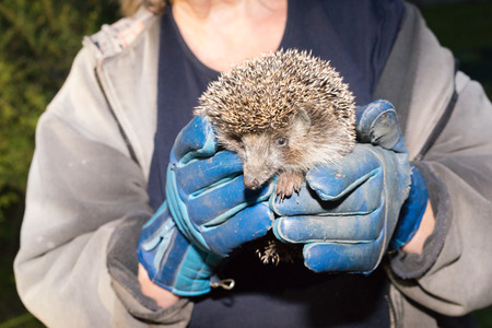 Two hands in a glowes in which a hedgehog sits and looks at the viewer curious. photo