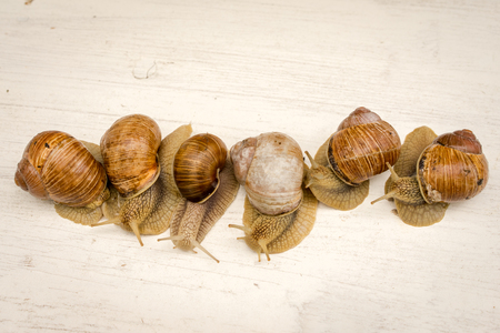 edible snail: eight snails in a row