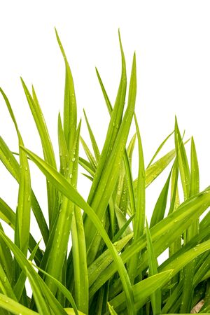 water grass: day-lily wet green grass isolated on white background